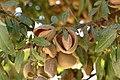 Almonds Maturing on Trees.jpg