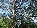 Alnus jorullensis Kunth (AM AK327106-3).jpg