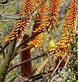 Aloe marlothii, winter, Eugene Marais Park.jpg