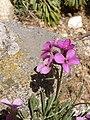 Alpine Pink (Dianthus alpinus) P6040287.jpg