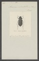 Alvarinus - Print - Iconographia Zoologica - Special Collections University of Amsterdam - UBAINV0274 020 06 0008.tif