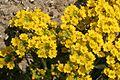 Alyssum montanum ENBLA01.jpg