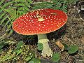 Amanita muscaria 01.jpg