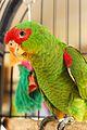 Amazona pretrei -bird cage-8c.jpg