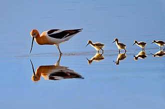 American avocet - American Avocet and Chicks, Great Sand Dunes National Park