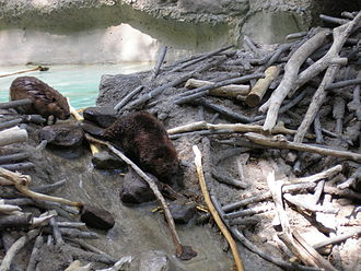 Castoreum - American Beavers at the U.S. National Zoo