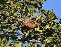 American Robin eating Holly berries (45470326635).jpg