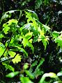 Amerikaanse eik (Quercus rubra) - bladeren, mei 2012.jpg