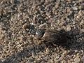 Amphion prodromus ? (Scarabaeidae- Aphodiinae) (9784949794).jpg