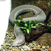 Amphiuma tridactylum.jpg