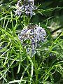 Amsonia hubrichtii - Flickr - peganum.jpg