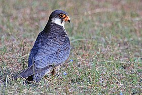 Amur falcon female 4.jpg