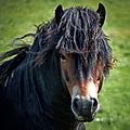An Exmoor Hairstyle.jpg