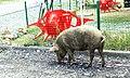 Ananuri pig on street Gruzia 2019 1.jpg
