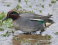Anas crecca -Rutland Water, Rutland, England -male-8 (cropped).jpg