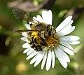 Andrena hirticincta 01.jpg