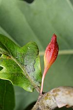Andricus callidoma gall (31941912465).jpg