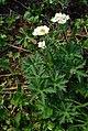 Anemonastrum sibiricum 115392103.jpg