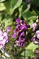Angelonia angustifolia Pink & Purple 1zz.jpg