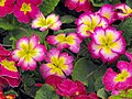 Angiosperms in iran گیاهان گلدار در ایران 02.jpg