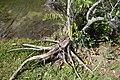 Annona glabra 11zz.jpg