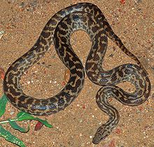Serpentes wikip dia - Code avantage maisons du monde ...