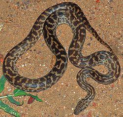 Spotted PythonAntaresia maculosa