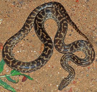 Spotted python Species of reptile