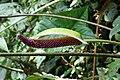 Anthurium cf. pfitzeri (Araceae) (49831373387).jpg