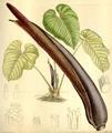 Anthurium gustavii CBM.png