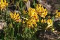 Anthyllis vulneraria - img 25559.jpg