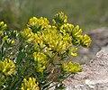 Anthyllis vulneraria 250411a.JPG