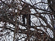 Anti-abortion protester in tree, close zoom; 2013 US Presidential Inauguration.JPG
