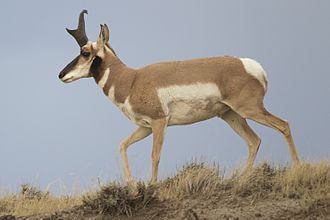 Pronghorn - Profile of an adult male