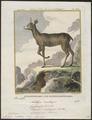 Antilope saltatrix - 1700-1880 - Print - Iconographia Zoologica - Special Collections University of Amsterdam - UBA01 IZ21400115.tif