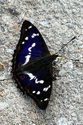 Apatura iris Weinsberg 20080614 5.jpg
