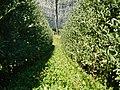 Apfelbäume mit Hagelschutz - panoramio.jpg
