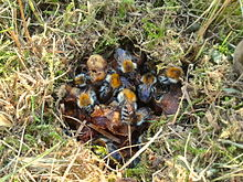 An Above Ground Nest Hidden In Gr And Moss Of The Common Carder Bee Us Pascuorum Wax Canopy Or Involucrum Has Been Removed To Show Winged
