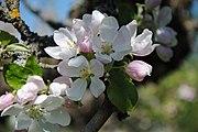 Apple blossom 08.JPG