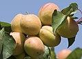 Apricot fruits on tree, Niğde 2017-08-05 01-3.jpg