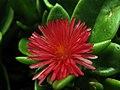 Aptenia cordifolia (6846900699).jpg