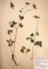 Aquilegia canadensis BW-1966-0529-0875.jpg