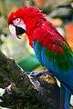 Ara chloropterus -Sao Paulo Zoo-8a.jpg