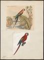 Ara macao - 1700-1880 - Print - Iconographia Zoologica - Special Collections University of Amsterdam - UBA01 IZ18500083.tif