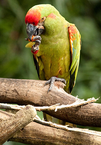 Red-fronted macaw - At Jurong Bird Park, Singapore