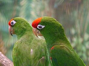 Aratinga wagleri -Jurong BirdPark-6.jpg