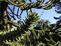 Araucaria araucana foliage closeup.jpg
