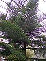 Araucaria heterophylla wiki1.jpg