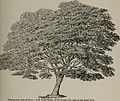 Arboretum et fruticetum britannicum, or - The trees and shrubs of Britain, native and foreign, hardy and half-hardy, pictorially and botanically delineated, and scientifically and popularly described (14803834793).jpg