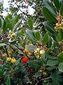 Arbustus unedo.jpg